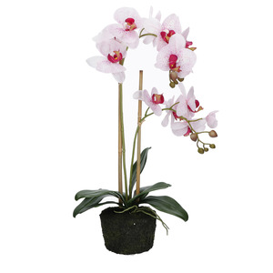 Zolla orchidee maculate Veronica H. 57 cm.