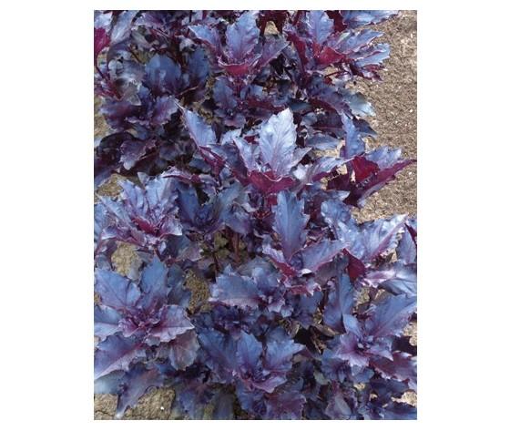 Basilico Red Rubin