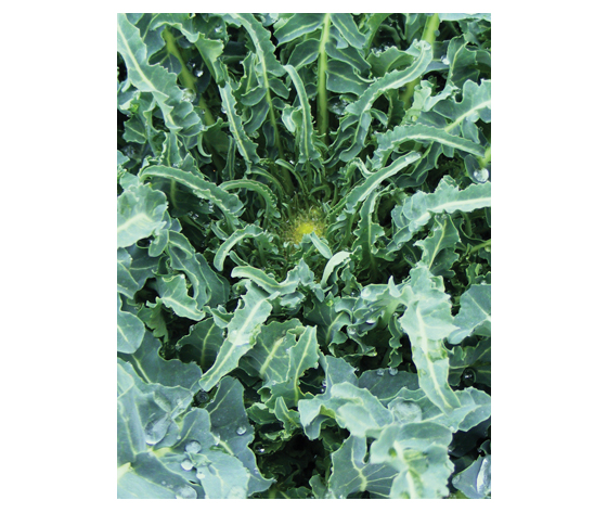 Cavolo Broccolo Bronzino di Albenga (Fiolaro)