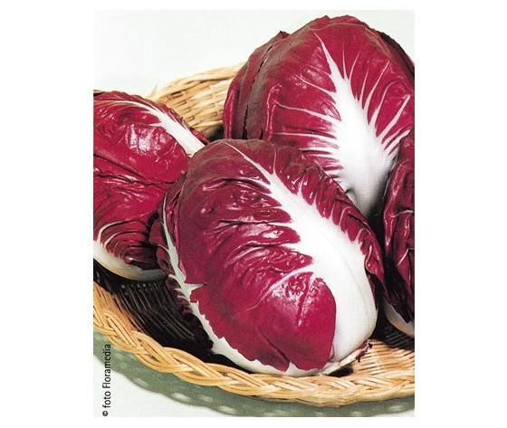 Cicoria Rossa di Verona sel. Santi (90-100 gg)
