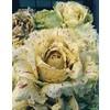 1981 variegata castelfr masera 355x450