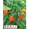 Orange habanero pianta 355x450 %281%29