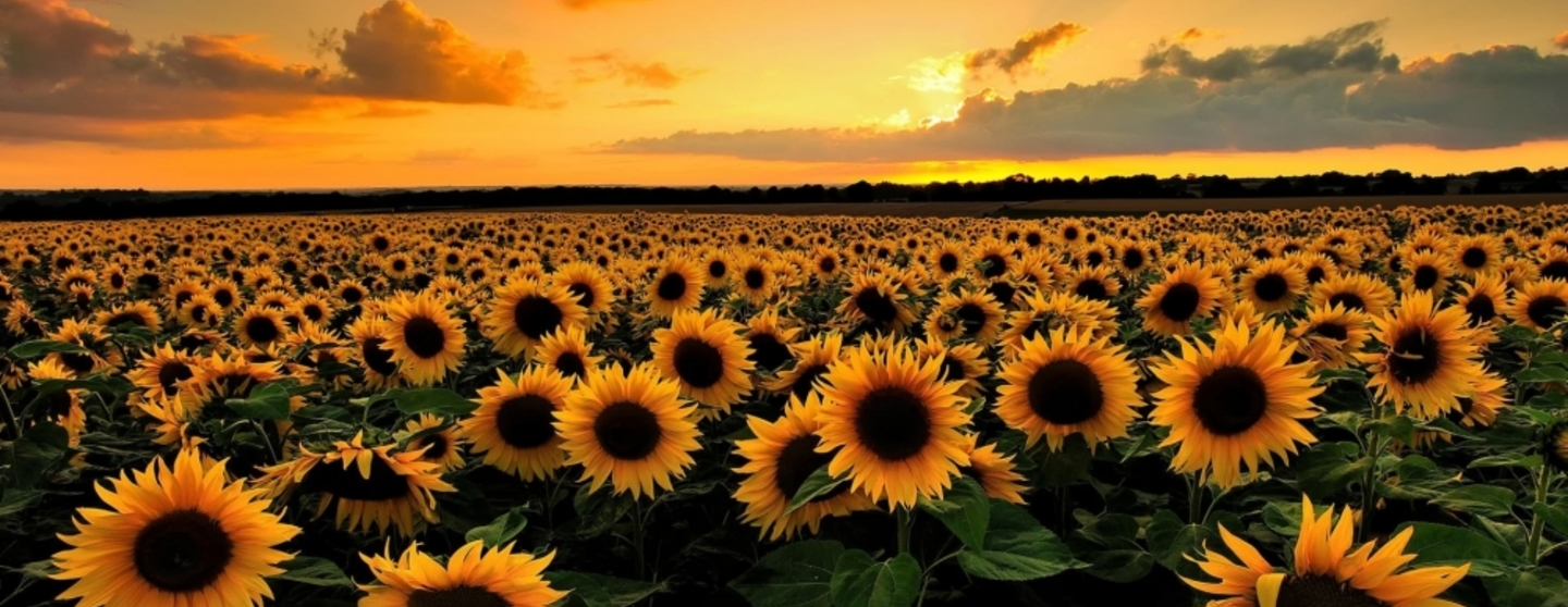 Beautiful sunflower wallpaper 999x562