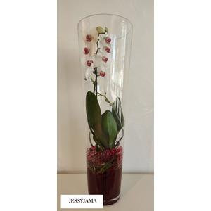 Phalaenopsis Pearl