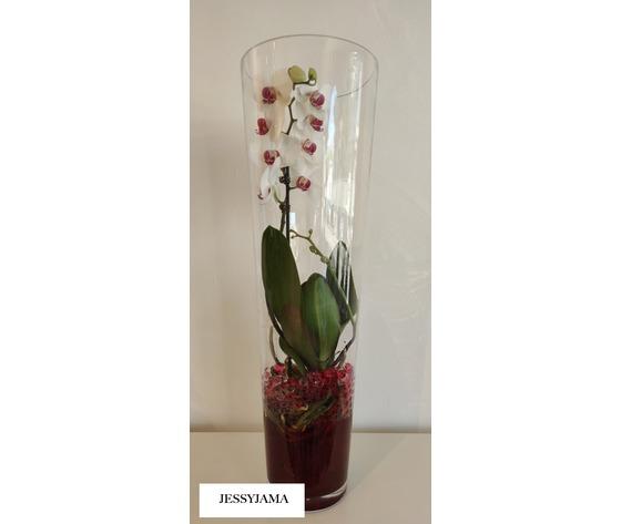Orchidea phalaenopsis jessyjama