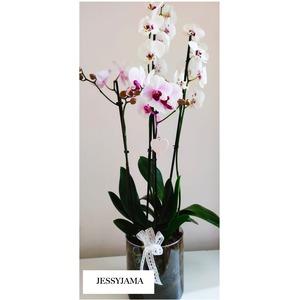 Phalaenopsis Shabby - Chic