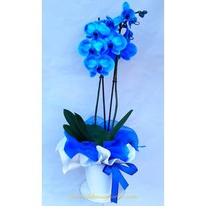 Phaleonopsis blu 50€