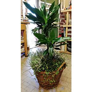 Pianta Yucca in cesto