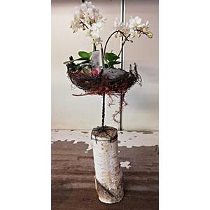 Pianta Orchiedea confezionata con struttra artigianale