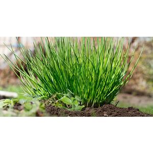 HORTUS Gran Raccolto Erba Cipollina Prager Allium Schoenoprasum