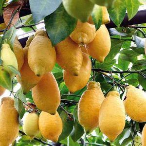 Pianta di Limone Lunario 4 stagioni in fitocella