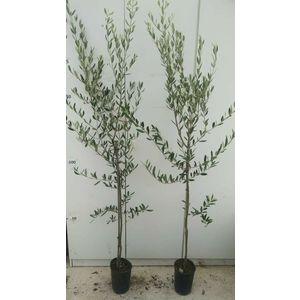 Pianta di olivo Nero Cassanese