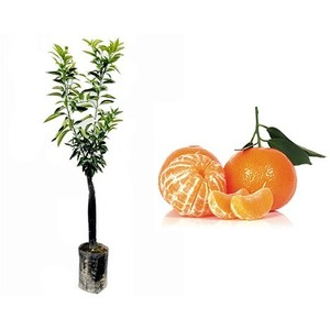 Pianta di Mandarino in fitocella