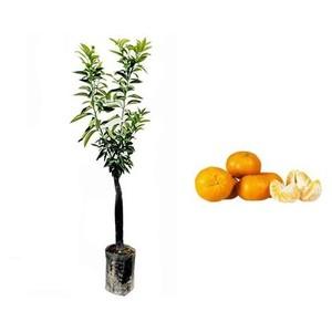 Pianta di Mandarino Tardivo in fitocella
