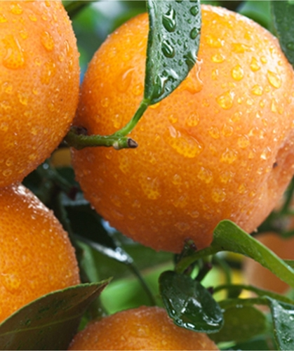 Clementine igp