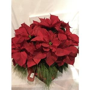 Stella di Natale Rossa h 70x70