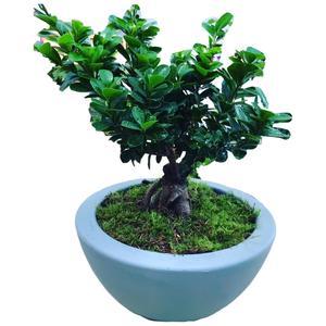 Bonzai Ficus Ginsen