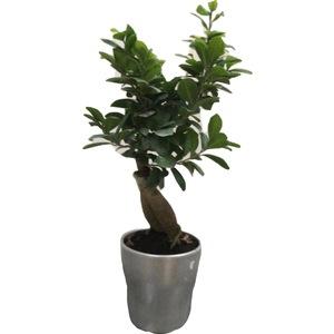 Bonzai Ficus piccolo