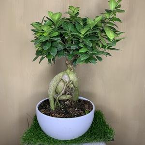 Ficus Gin Bonsai