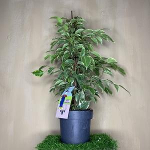 """Ficus benjamina """"Golden King"""""""