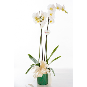 Phalaenopsis con cachepot
