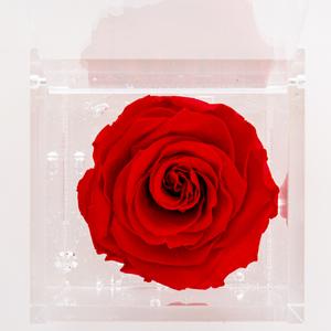 Rosa stabilizzata singola