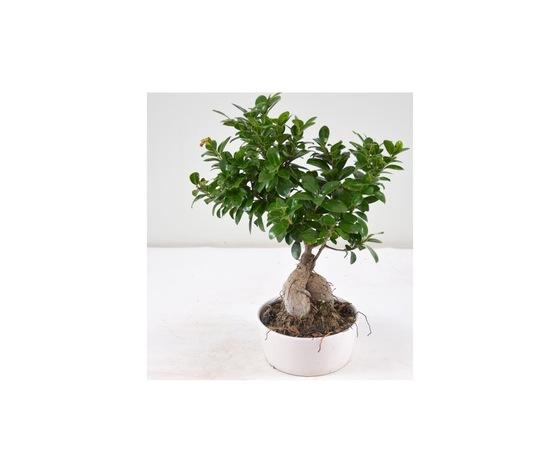 Bonsai piccolo   ma014