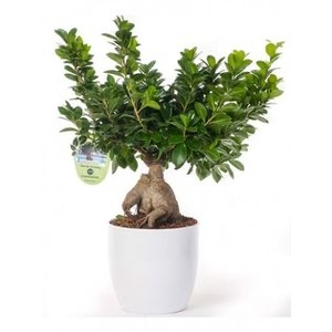 BONSAI MEDIO