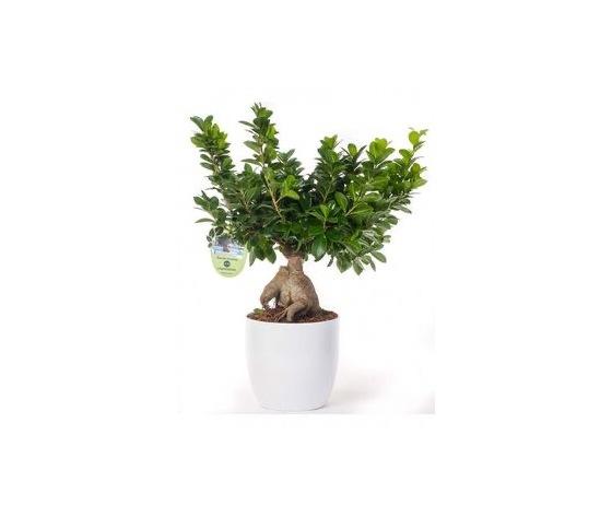 Bonsai grande   ma016