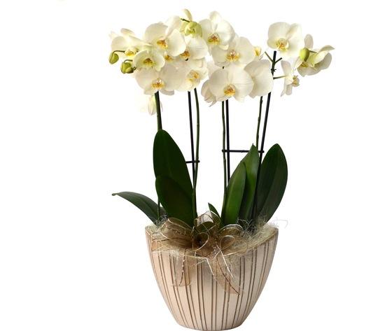 Orchidea 4 rami 80%e2%82%ac   ma028