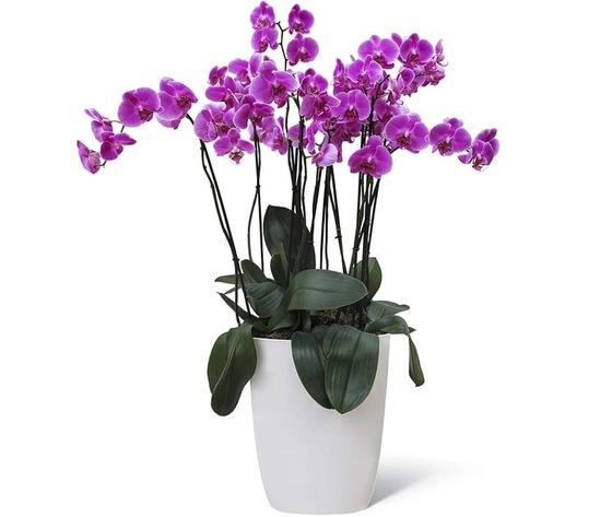 Orchidea 6 rami 140%e2%82%ac   ma029