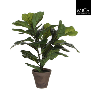 FICUS LYRATA H35 GREEN IN POT STAN GREY