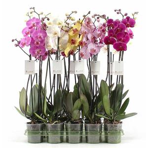 Phalaenopsis 2 rami 18+ fiori vaso 12 altezza 70-75