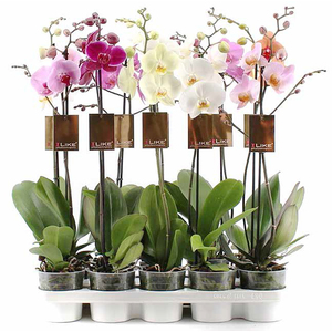 Phalaenopsis Mix 1 Ramo Ramificata Vaso 12 Altezza 70/75
