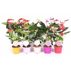 Anthurium mix Morelips vaso 14 altezza 50