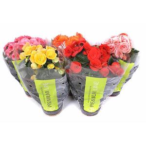 Begonia doubleflower mix Premium sleeve vaso 13 altezza 30