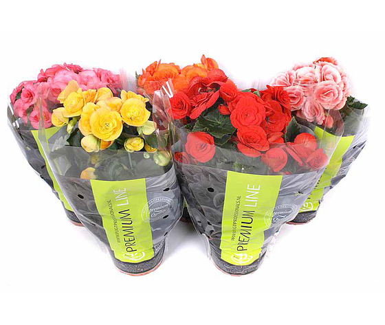 Begonia doubleflower mix Premium sleeve vaso 13 altezza 30