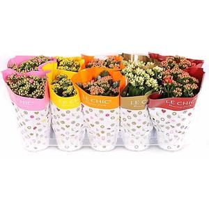 Kalanchoe doubleflower mix Le chic summer vaso 10,5 altezza 23