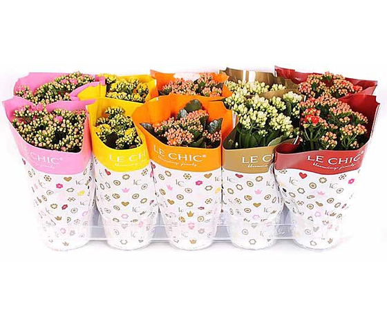 Kalanchoe doubleflower mix Le chic summer vaso 10,5 altezza 23