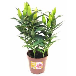 Lillium Showwinner Vaso 19 Altezza 55