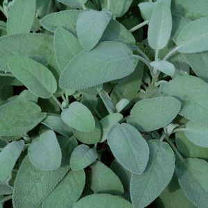 Salvia (Foglia grande)