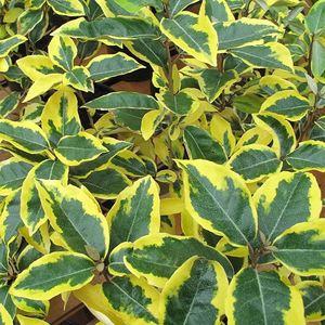 Eleagnus variegato