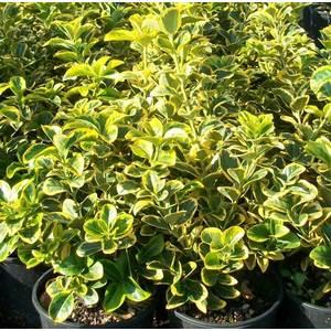 Euonymus verde