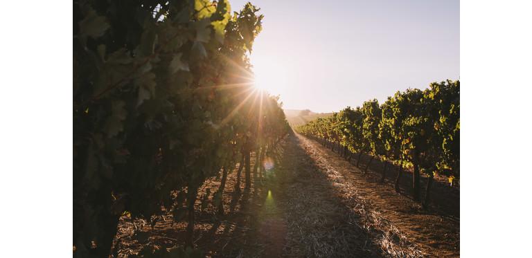 Farm sun summer plants wine outdoor grapes sun flare wine field wine farm t20 1j1zkg