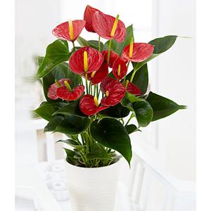 pianta di anthurium rosso