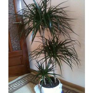 pianta di dracena h185