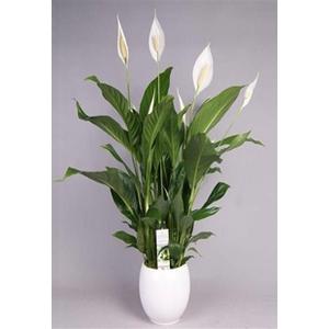 pianta di spathipyllum