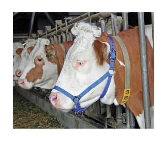 Capezza doppia regolazione per bovini