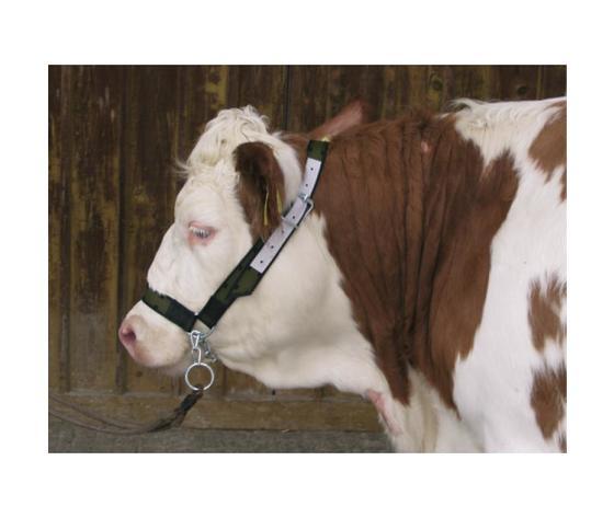Capezza per bovini con catena al mento