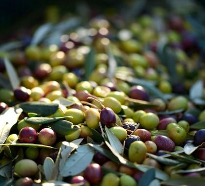 Olives provence france 993567